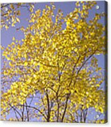 Blue And Gold Acrylic Print