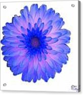 Blue And Pink Dahlia Acrylic Print