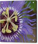Blue And Purple Detail Acrylic Print