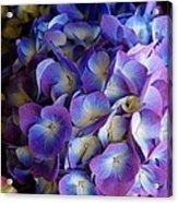 Blue And Purple Hydrangeas Acrylic Print
