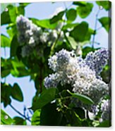 Blue And White Lilacs Acrylic Print