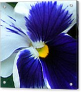 Blue And White Pansy Acrylic Print
