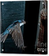 Blue And White Swallow Acrylic Print