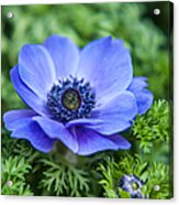 Blue Anemone. Flowers Of Holland Acrylic Print