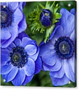 Blue Anemones. Flowers Of Holland Acrylic Print