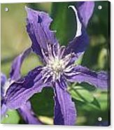 Blue Angel Clematis Close   # Acrylic Print