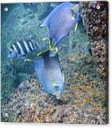 Blue Angelfish Feeding On Coral Acrylic Print