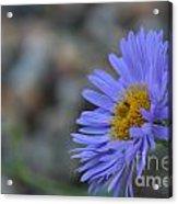 Blue Aster Acrylic Print