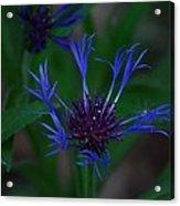 Blue Bachelor Button Acrylic Print