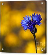 Blue Bachelor Button On Gold Acrylic Print