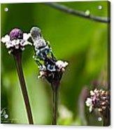 Blue Bee 2 Acrylic Print