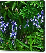 Blue Bells Acrylic Print