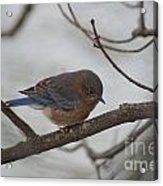 Blue Bird 201301 Acrylic Print