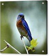 Blue Bird Halo Acrylic Print