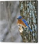 Blue Bird In Winter Acrylic Print