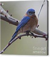 Blue Bird Of Happiness Acrylic Print