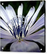 Blue Blossoms  3 Acrylic Print