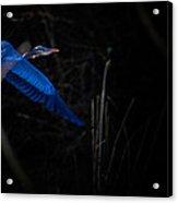 Blue Blue Heron Acrylic Print