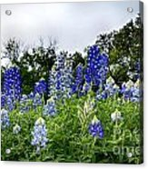 Blue Bonnet Carpet V9 Acrylic Print