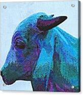 Blue Brahma Acrylic Print