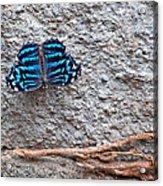 Blue Butterfly Myscelia Ethusa Art Prints Acrylic Print
