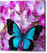 Blue Butterfly On Pink Hydrangea Acrylic Print