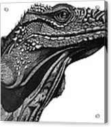 Blue Cayman Iguana Acrylic Print