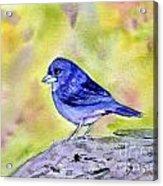 Blue Chaffinch Acrylic Print