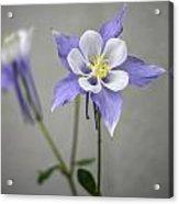 Blue Columbines Acrylic Print