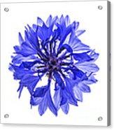 Blue Cornflower Flower Acrylic Print by Elena Elisseeva