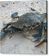 Blue Crab Acrylic Print by Paula Rountree Bischoff