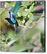 Blue-crowned Motmot Acrylic Print by Rebecca Sherman