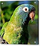 Blue-crowned Parakeet Acrylic Print by Ira Runyan