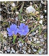 Blue Daisy Acrylic Print