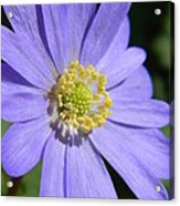 Blue Daisy Up Close Acrylic Print