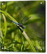 Blue Damsel Dragon Fly Acrylic Print