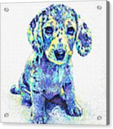 Blue Dapple Dachshund Puppy Acrylic Print by Jane Schnetlage