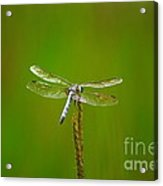 Blue Dasher Dragonfly Acrylic Print