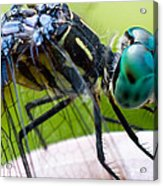 Blue Dasher Acrylic Print