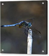 Blue Dasher I. Acrylic Print