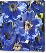 Blue Delphinium 9655 Acrylic Print