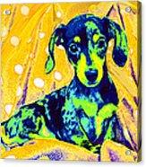 Blue Doxie Acrylic Print
