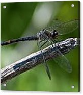 Blue Dragonfly 2 Acrylic Print