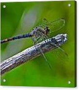 Blue Dragonfly 5 Acrylic Print