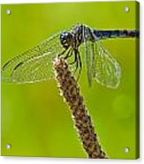 Blue Dragonfly 6 Acrylic Print