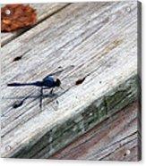 Blue Dragonfly Acrylic Print