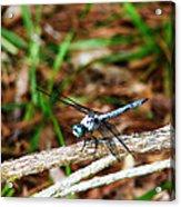 Blue Dragonfly Beauty Acrylic Print by Ella Char