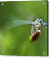 Blue Dragonfly Sitting On A Dry Red Plant Acrylic Print