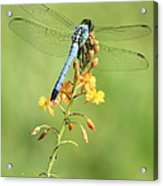 Blue Dragonfly On Yellow Flower Acrylic Print