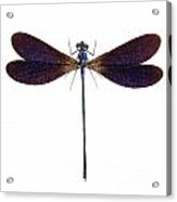 Blue Dragonfly Species Vestalis Luctuosa Acrylic Print